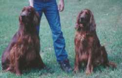 AKC Irish Setters