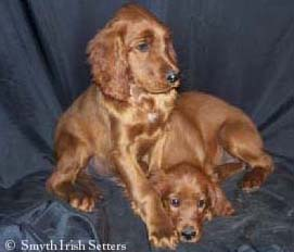 Smyth Irish Setter Puppies for Sale - Litter Announcement - Photos