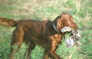 Smyth Irish Setters AKC Irish Setters for sale.