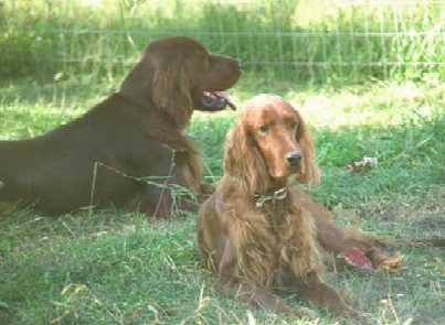 Field Irish Setters