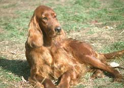 Irish Setters loafing