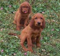 our Irish Setter puppies for sale
