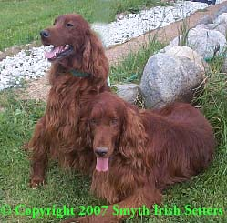 Irish Setters George Bonzo