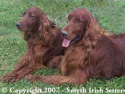 Adult AKC Irish Setters