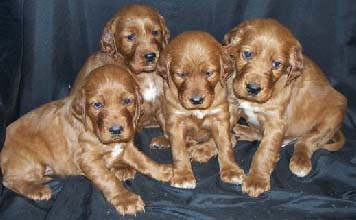 Our Irish Setter Puppies for sale - Puppy Announcements
