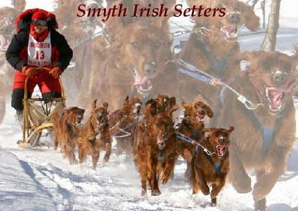 Irish Setters for sale in wi mi  IL mn ny fl ca wa or tx ma