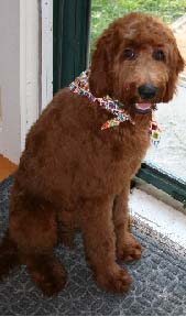 Our Irish Doodles and Irish Doodle Puppies for Sale - Puppy