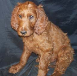 Our Irish Doodles And Irish Doodle Puppies For Sale Puppy