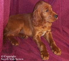 Field Irish Setter puppy for sale wa  ca or wa