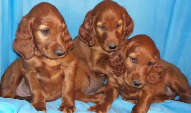 Our Irish Setter Puppies For Sale Puppy Announcements