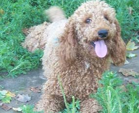 goldendoodle puppies for sale best dog breeders f1b all goldendoodle