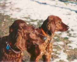 Two Irish Setters