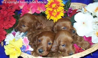 Adoption Irish Setter puppies for sale.