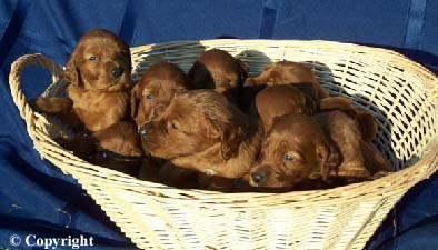 irish setter puppy litter