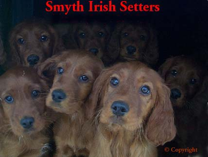 AKC Irish Setter puppies sale
